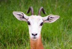 Baby-Gazelle Stockfotografie