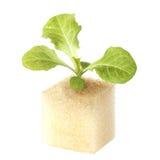 Baby geen oak lettuce Stock Photo