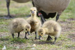 Baby geese Royalty Free Stock Photography