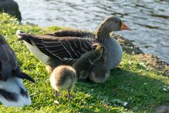 Baby geese Royalty Free Stock Images