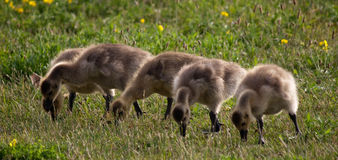 Baby Geese. Taken along the river in the spring when the baby geese are born Stock Image
