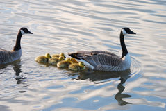 Baby Geese Royalty Free Stock Photo