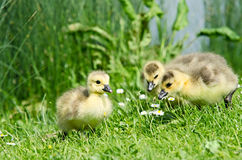 Baby geese Stock Image