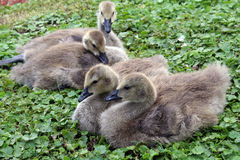 Baby geese. Four baby geese resting in the grass stock photos