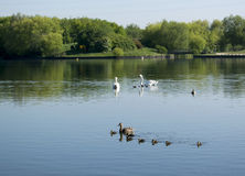 Baby Ducks And Baby Swans Royalty Free Stock Image