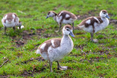 Baby geese Royalty Free Stock Photos