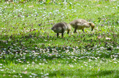 Baby geese in dasies Stock Images