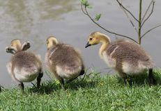 Baby Geese. These baby geese are debating on who should jump first Stock Images