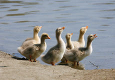 Baby Geese Drinking. From the lake stock image