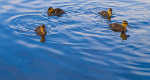 Baby Geese and Ducks Swimming For Food. Good for showing new business or blue-sky thinking Royalty Free Stock Photo