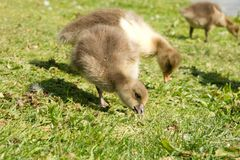 Baby geese eating Stock Photo