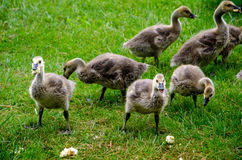Baby geese eating bread Royalty Free Stock Images