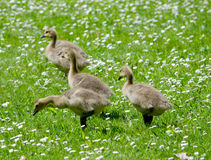 Baby geese in a field of white Stock Photos