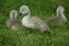 Baby Geese. Fluffy grey baby geese also called gosling Stock Photo