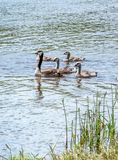 Baby geese play follow the leader. Baby geese follow close to mom as they swim in a clear lake in Michigan USA stock photography