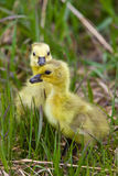 Baby Geese Goslings in Grass Saskatchewan Royalty Free Stock Image