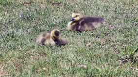 Baby Geese in the grass stock video