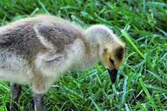 Baby Geese Stock Photo