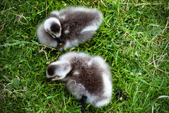 Baby Geese on the Grass Royalty Free Stock Photos