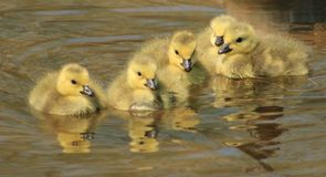 Baby Geese Royalty Free Stock Image