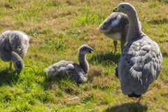 Baby geese just laying about royalty free stock images