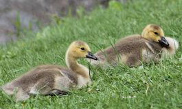Baby Geese. These baby geese is just relaxing and enjoying the day Stock Photo