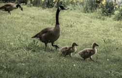 Baby geese look cute as they walk in the grass on a spring afternoon at the park in vintage setting. Baby geese walk in the grass on a spring afternoon at the royalty free stock images