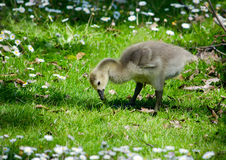 Baby geese looking for food Royalty Free Stock Image