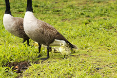 Baby geese with mom and dad. Baby geese are under their parents feet in the rain royalty free stock photography
