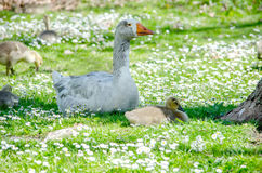 Baby geese and mother Stock Photo