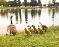 Baby Geese and Mother By The Water. This photo of baby geese and their mother by the water was taken in Turlock California, at Donelley Park stock photos