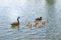 Baby geese with Parents. Canada Goose, Branta canadensi. Gosling, baby geese with Parents. Canada Goose, Branta canadensis stock photography