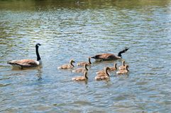Baby geese with Parents. Canada Goose, Branta canadensi. Gosling, baby geese with Parents. Canada Goose, Branta canadensis royalty free stock images