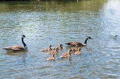 Gosling, baby geese with Parents. Canada Goose, Branta canadensis. Baby geese with Parents. Canada Goose, Branta canadensis royalty free stock image