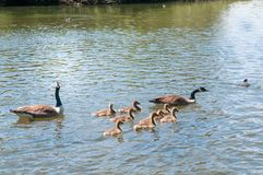 Gosling, baby geese with Parents. Canada Goose, Branta canadensis. Baby geese with Parents. Canada Goose, Branta canadensis royalty free stock photography