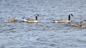 Baby geese and parents (with sound) Royalty Free Stock Images