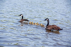 Baby Geese and Parents Swimming Royalty Free Stock Photos