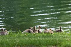 Baby Geese by a Pond. A group of baby Canadian geese resting together in the grass next to a pond in spring stock image