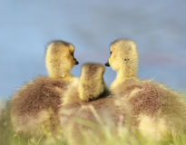 Baby geese resting Stock Images
