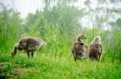 Baby geese searching for food Royalty Free Stock Photo