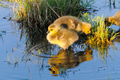 Baby Geese. A baby geese standing in the pound stock images
