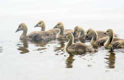 Baby geese swim  in the fog Royalty Free Stock Images