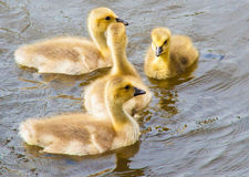 Baby geese swimming Royalty Free Stock Photography