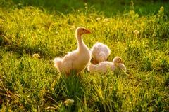 Baby geese take a break. Baby geese take a break naturen royalty free stock image