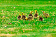 Baby Geese Talking. Wild gosslings feeding and talking in a field Royalty Free Stock Photography