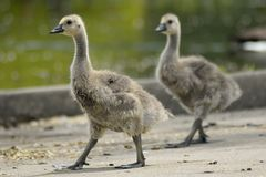 Baby geese walk to a nearby lake.  stock photography