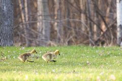 Baby Geese Walking with Determination Royalty Free Stock Photography