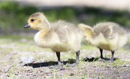 Baby geese walking on the grass. Stock Photo