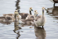 Baby Geese. In water on a spring day royalty free stock image