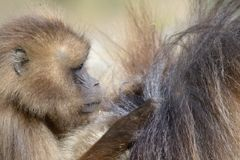 Baby gelada baboon Stock Photos
